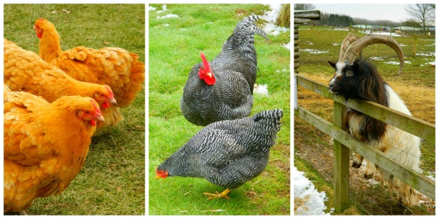 Animal farm collage1